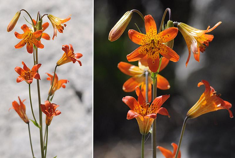 [USA] – Côte Ouest, de la Californie à l'état de Washington - Page 3 Ophrys15