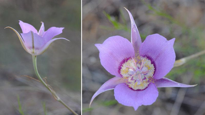 [USA] – Côte Ouest, de la Californie à l'état de Washington - Page 3 Ophrys16