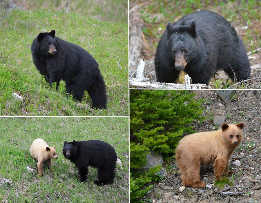 [Canada] Ouest canadien, des orchidées et des ours Ours-110