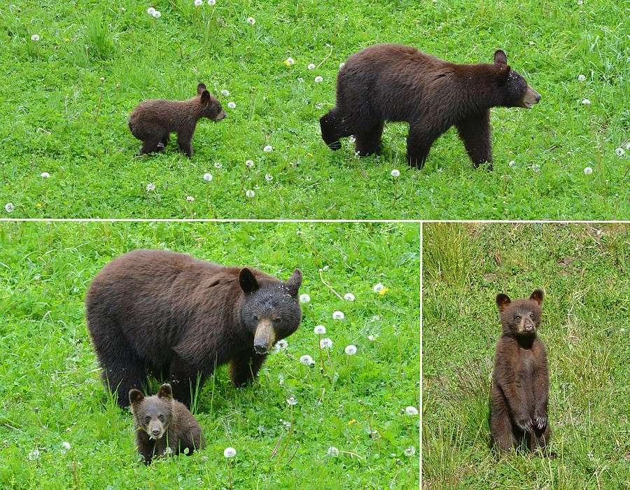 [Canada] Ouest canadien, des orchidées et des ours Ours310