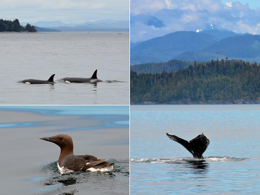 [Canada] Ouest canadien, des orchidées et des ours - Page 3 Whales10