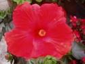 nos hibiscus P8200010