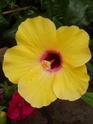 nos hibiscus P8200011