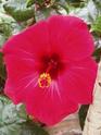 nos hibiscus P8200012