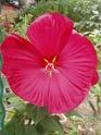 nos hibiscus P8200013