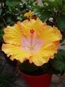 nos hibiscus P8260110