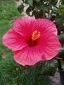 nos hibiscus P8260111