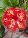 nos hibiscus P9120210