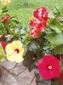 nos hibiscus P9120212