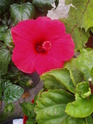 nos hibiscus P9120213
