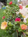 nos hibiscus P9120215