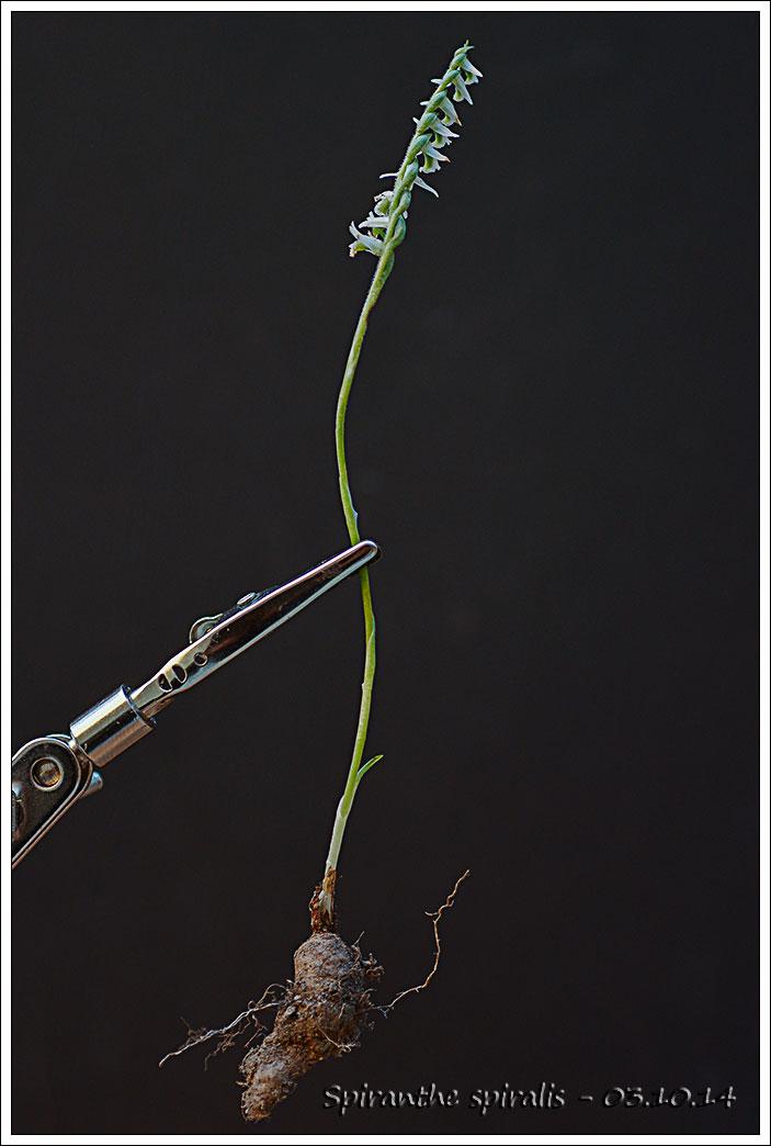 Vocabulaire botanique illustré Spiran10