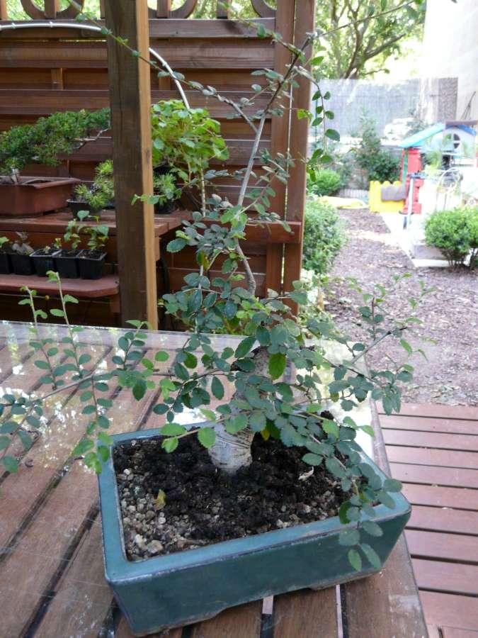 orme de jardinerie P1080836