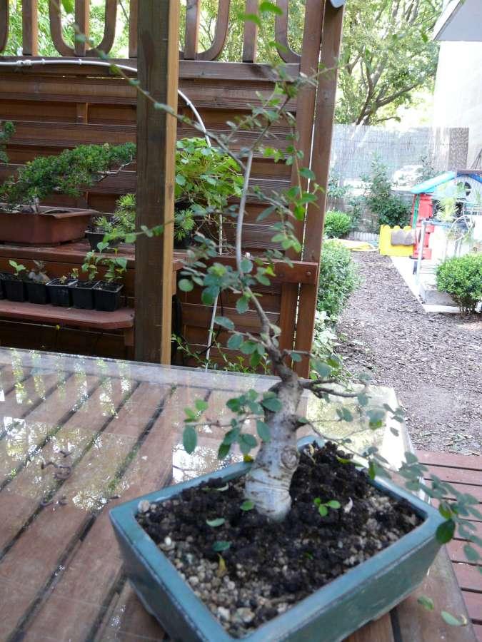 orme de jardinerie P1080837