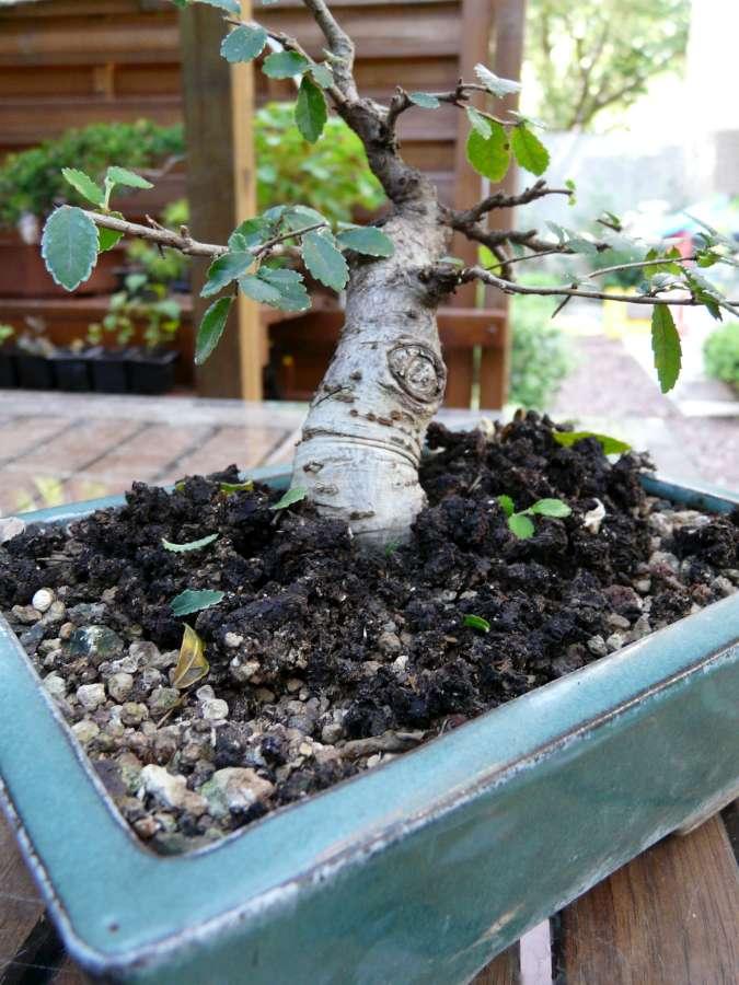orme de jardinerie P1080838