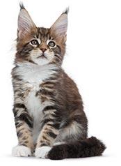 L'histoire du Maine Coon, chat de Marie-Antoinette Chaton10