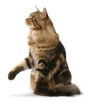 L'histoire du Maine Coon, chat de Marie-Antoinette Maine-10