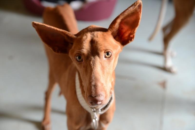 Alacant podenco à l'adoption refuge de Scooby Scooby France Adopté Alacan10