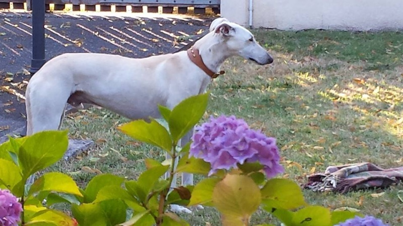 """Apache galgos à l'adoption """"Scooby France""""  - Page 7 Betise13"""