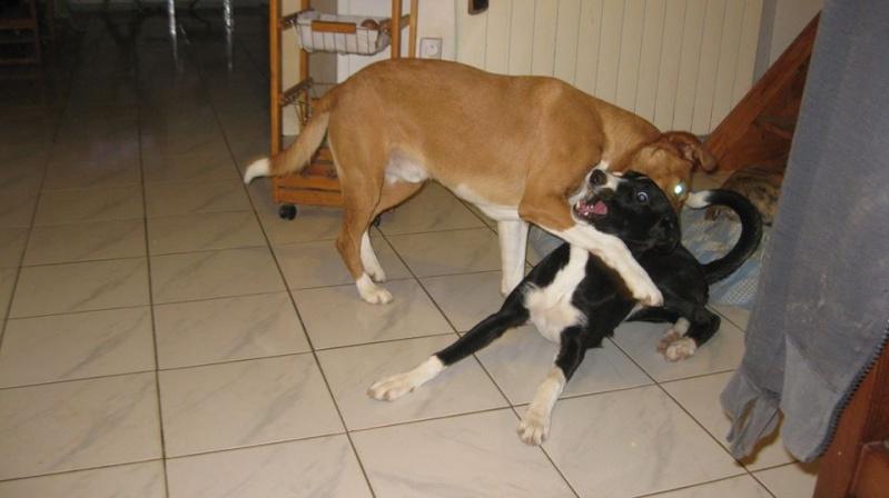 """Cereza galguita avec une patte cassée Scooby France""""  Adoptée  - Page 4 Cereza18"""