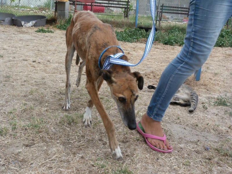 "Doris –douce et émouvante galga de 2007 à l'adoption""Scooby France""Adoptée  Doris_12"