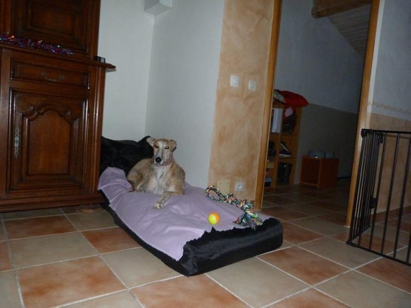 Duque –adorable galgo (5 ans) OK chats Scooby France Adopté  - Page 8 Duque_19