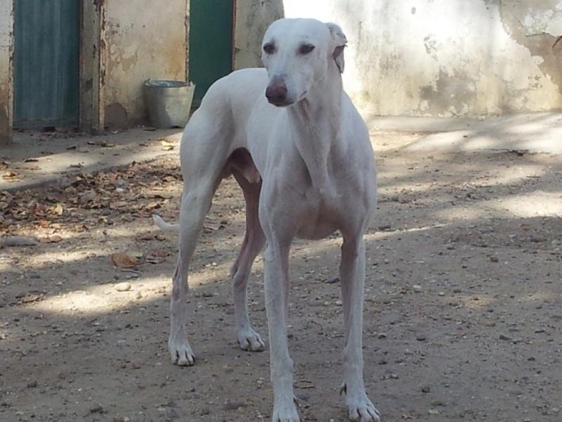 Fandy grand galgo blanc à l'adoption Scooby France Adopté   Fandy_11
