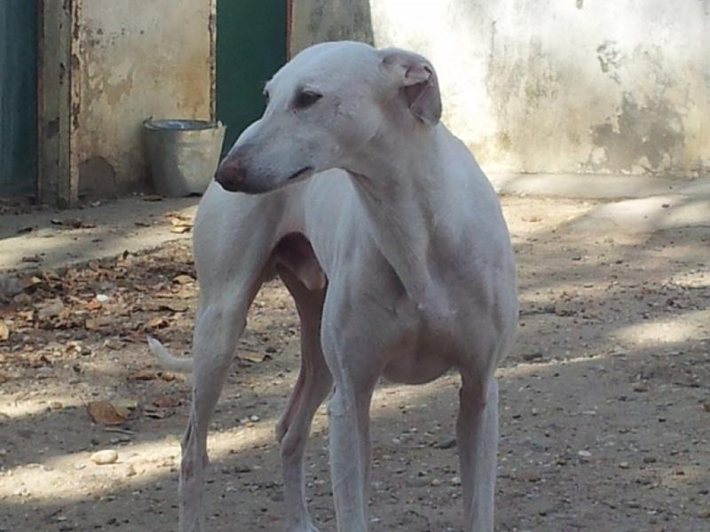 Fandy grand galgo blanc à l'adoption Scooby France Adopté   Fandy_12