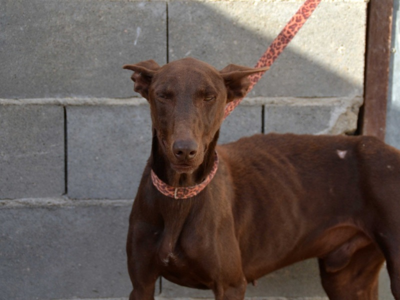 Léon tendre et doux podenco à l'adoption Scooby France Adopté  Leon_p12