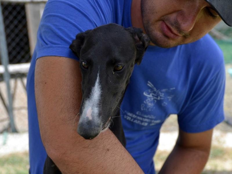 Tibu galguito à l'adoption d'une grande beauté Adopté !Scooby France  Tiburo15