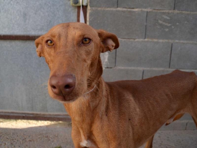 Vicente podenco à l'adoption Scooby France Adopté Vicent10