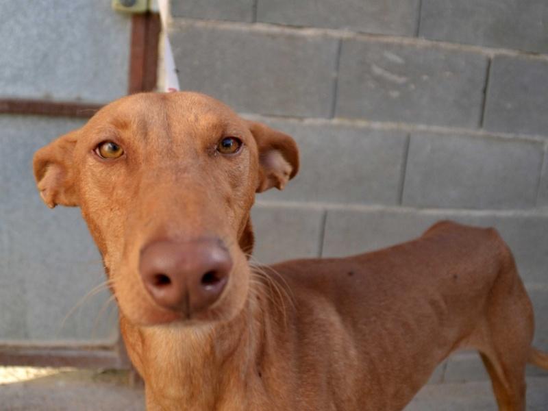 Vicente podenco à l'adoption Scooby France Adopté Vicent14
