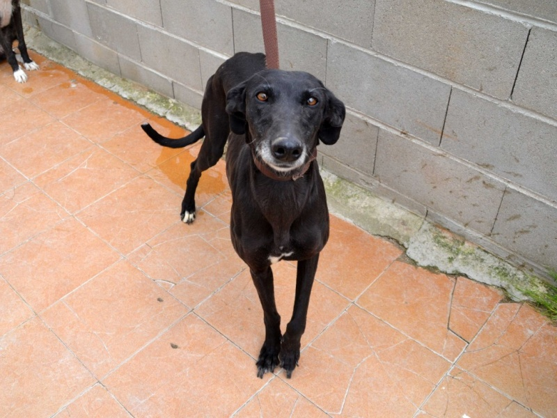 (Virtudes)LARA,  petite galga de 9 ans à l'adoption Scooby France Adoptée  Virtud13