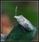 Hémiptères (cigales, cicadelles, pucerons, punaises, cochenilles, etc...)