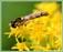 Hyménoptères (abeilles, guêpes, bourdons, fourmis, etc...)