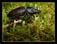 Coléoptères ( carabes, hannetons, scarabées, coccinelles etc..)