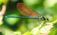 Odonates ( libellules, agrions, demoiselles etc..)