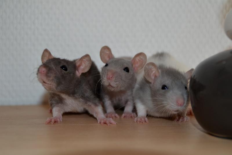 Mes ptits gars des Rat-valets Dsc_0410