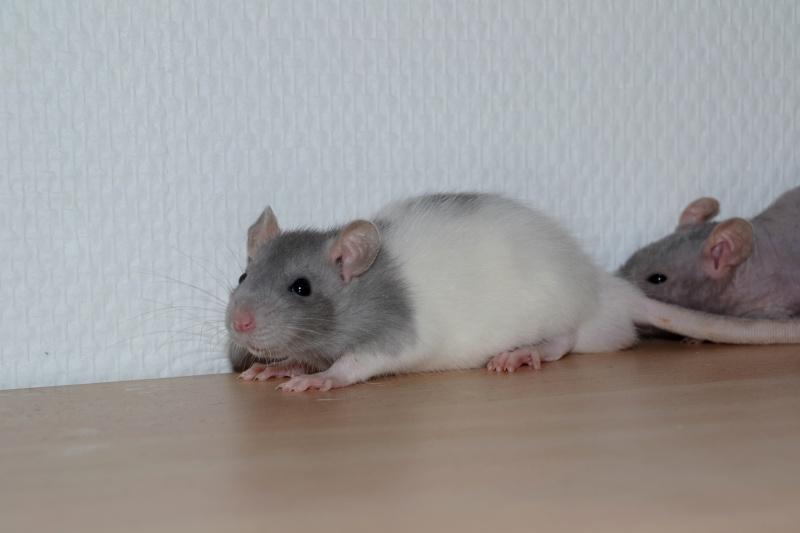 Mes ptits gars des Rat-valets Dsc_0414
