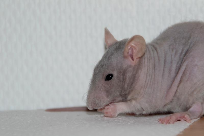 Mes ptits gars des Rat-valets Dsc_0416