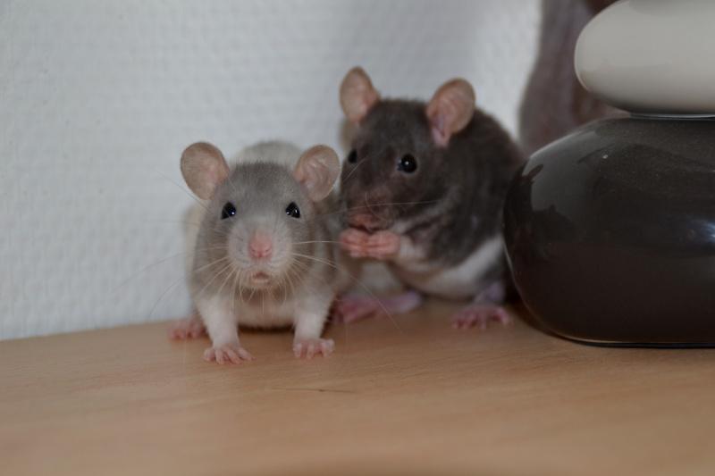 Mes ptits gars des Rat-valets Dsc_0417