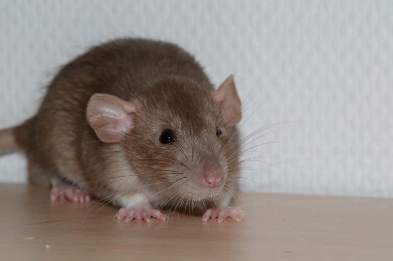 Mes ptits gars des Rat-valets - Page 3 Dsc_0511