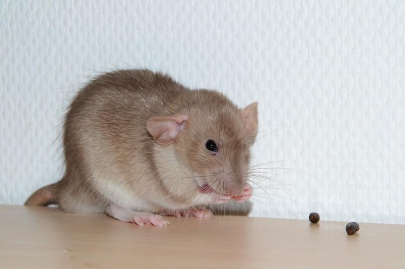 Mes ptits gars des Rat-valets - Page 3 Dsc_0513