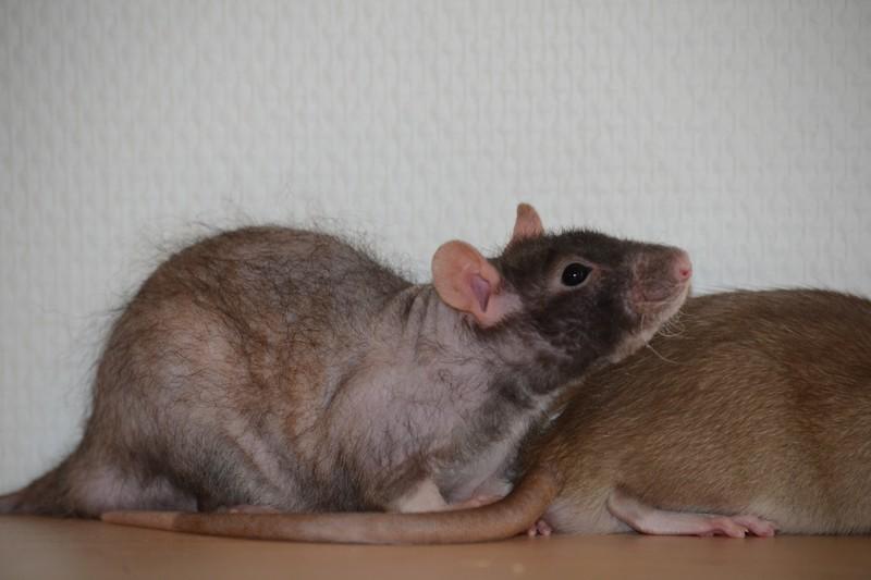 Mes ptits gars des Rat-valets - Page 3 Dsc_0514