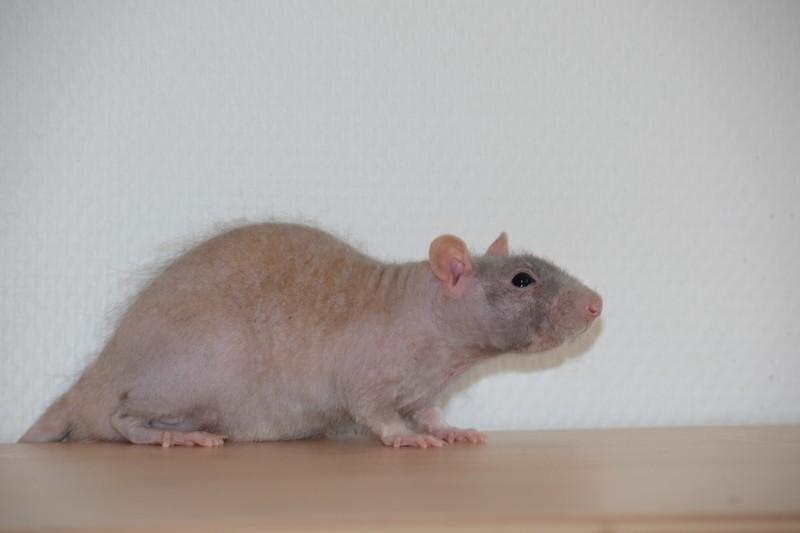 Mes ptits gars des Rat-valets - Page 3 Dsc_0515