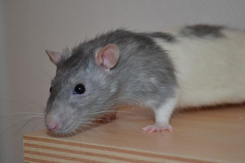 Mes ptits gars des Rat-valets - Page 3 Dsc_0516