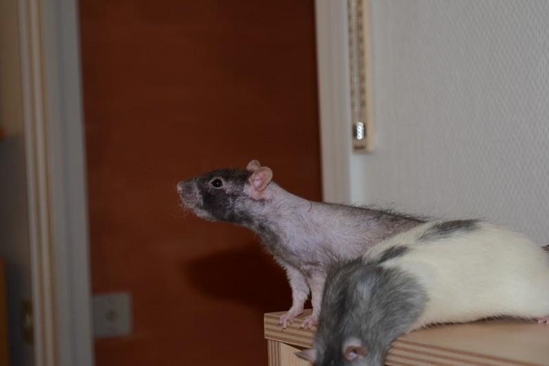 Mes ptits gars des Rat-valets - Page 3 Dsc_0517