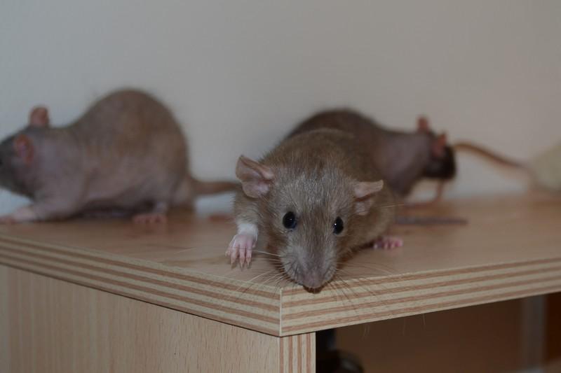Mes ptits gars des Rat-valets - Page 3 Dsc_0518