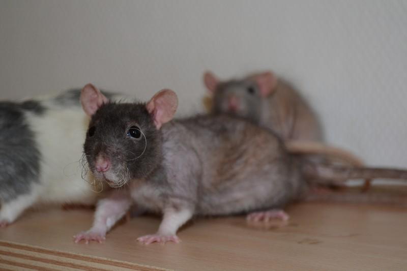 Mes ptits gars des Rat-valets - Page 3 Dsc_0519