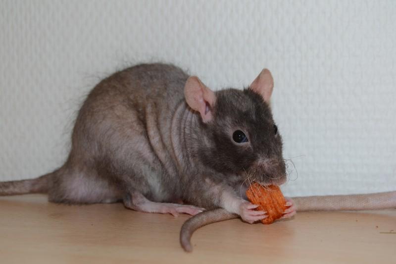Mes ptits gars des Rat-valets - Page 3 Dsc_0520